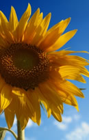girasole